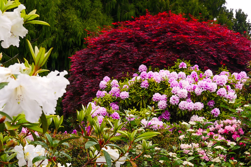 Rich Red Lilac and White feast for your eyes