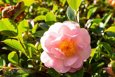 Pink and Precious Camellia