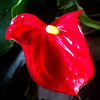 Red Lilly.