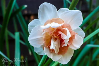 Double Daffodil- Varietal