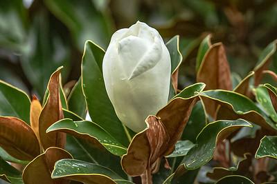 Bud Starting to Bloom