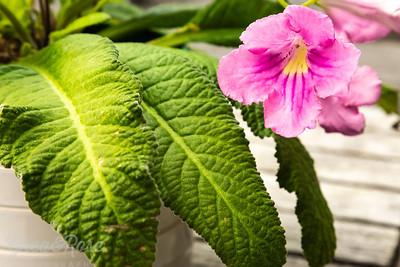 Streptocarpus flower and leaf