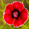 Red Sweet William