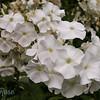 Richly White
