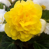 Second Yellow Begonia