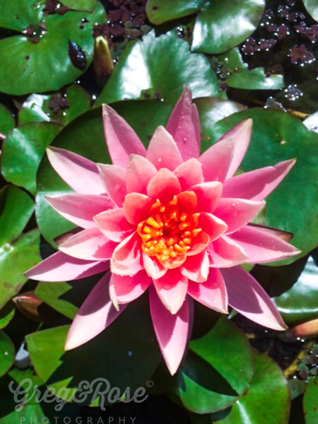 Water Lilly Supreme