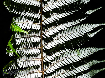 Silver fern close up