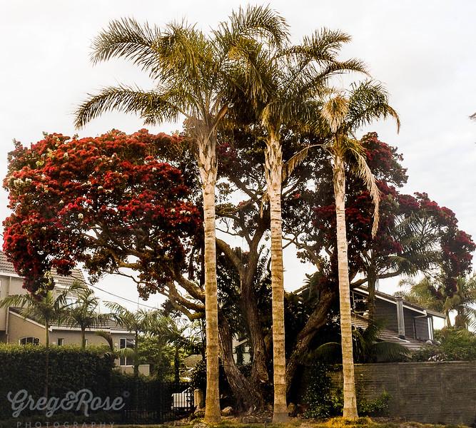 Pohutakwa and Queen Palms.