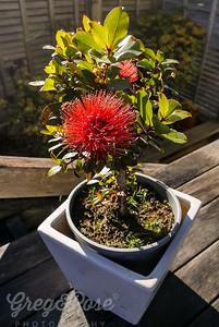 Miniature Pohutukawa