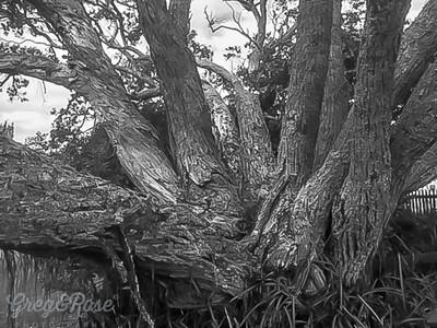 Pohutukawa and its branches