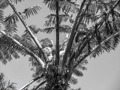 Fern Tree ( Ponga )with early fern fronds ( Koru ) showing