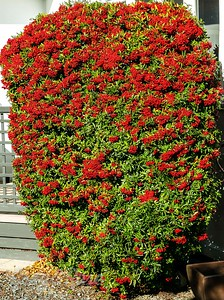 Pyracantha or Firestorm Tree