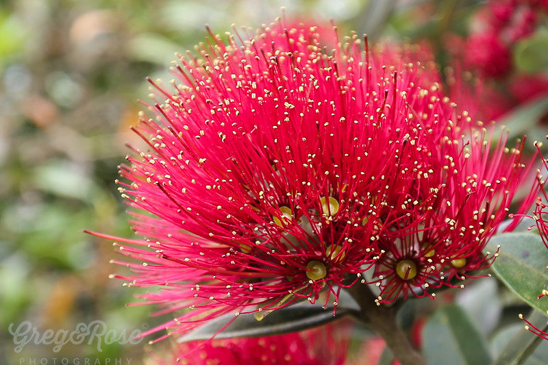 Pohutekawa in Full Bloom.
