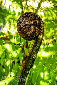 Punga Fern-or Silver tree fern