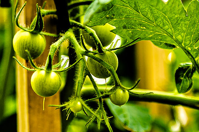 Young and Growing Tomatoes