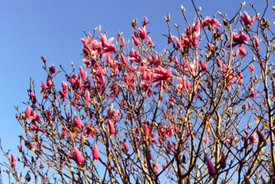 It is spring when the Magnolias Bloom