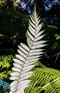 Silver Fern- Unique to our Land