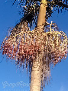 Queen Palm and the endo its Bloom