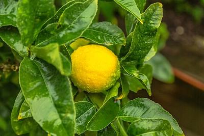 Lemon Health
