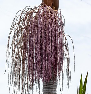 Queen Palm Fruiting Flower
