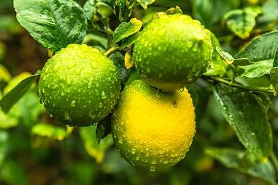 Lemons and Water Drops 1