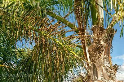 Flower of a Queen Palm