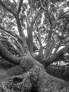 Pohutukawa Black and White