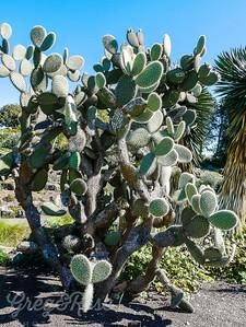 Large cactus species Opuntia