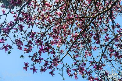 Magnolia Tree canopy