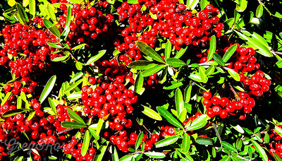 The Berry of the Pyracantha or Firestorm Tree