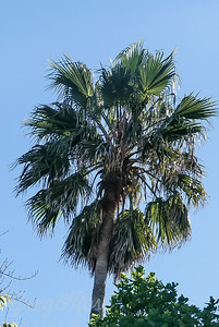 Large  Palm