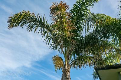 Flowering Queen palm