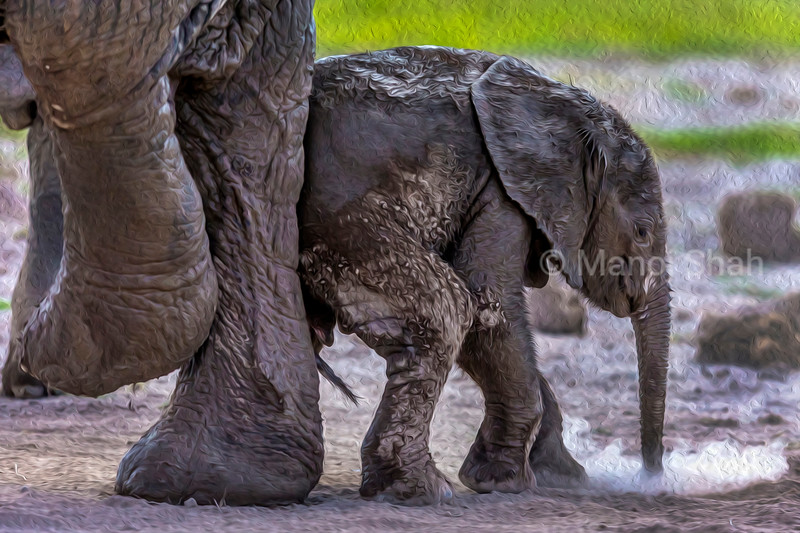 African Elephant mother and baby having a mud bath in Amboseli National park, Kenya