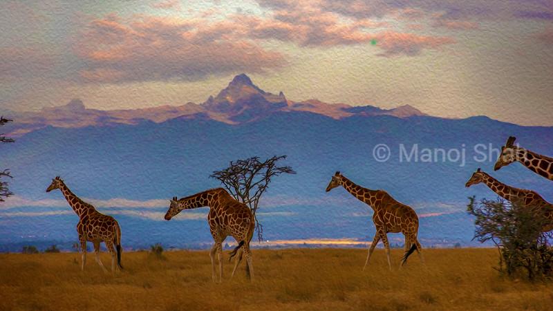 Herd of Reticulated giraffes in front of Mount Kenya