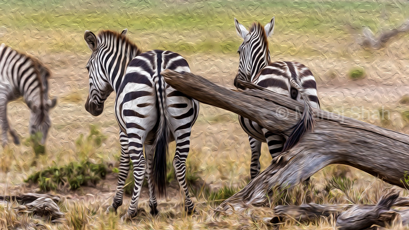 Zebras scratching their behinds agaist a fallen tree log.