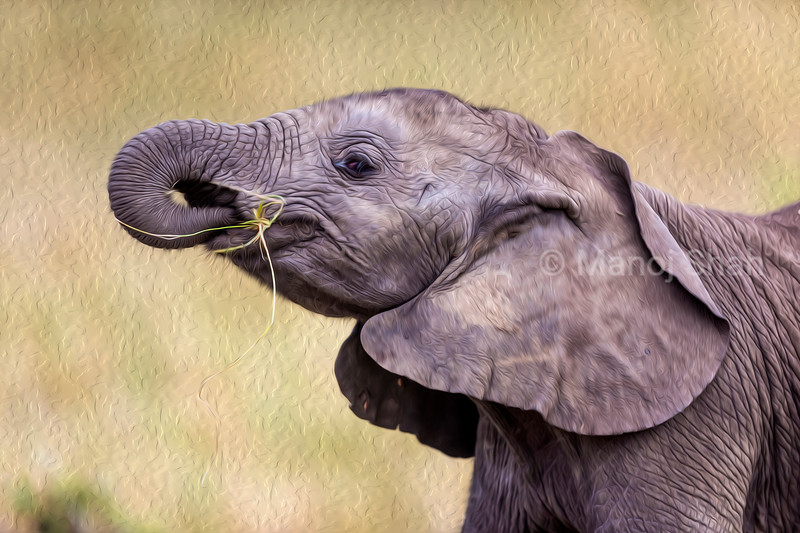 African elephant baby eating and playing with grass.