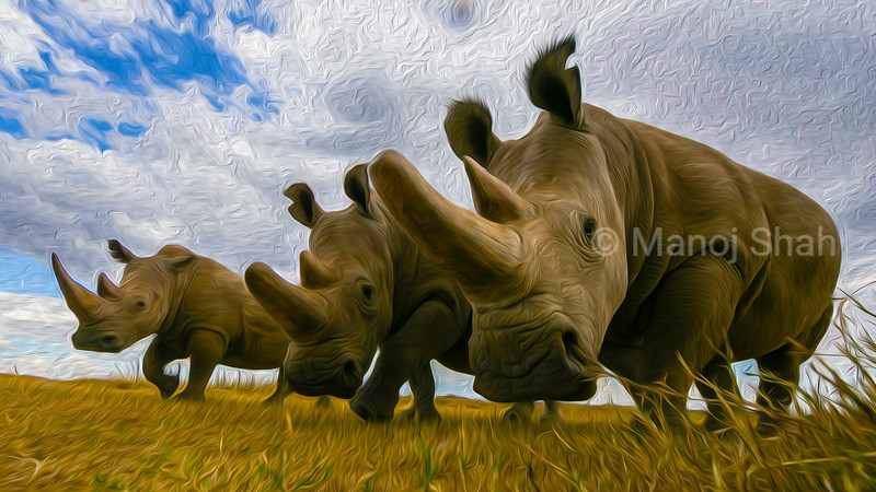 Two northern white rhinoceros and one southern white rhinoceros at Ol Pejeta conservancy in Kenya