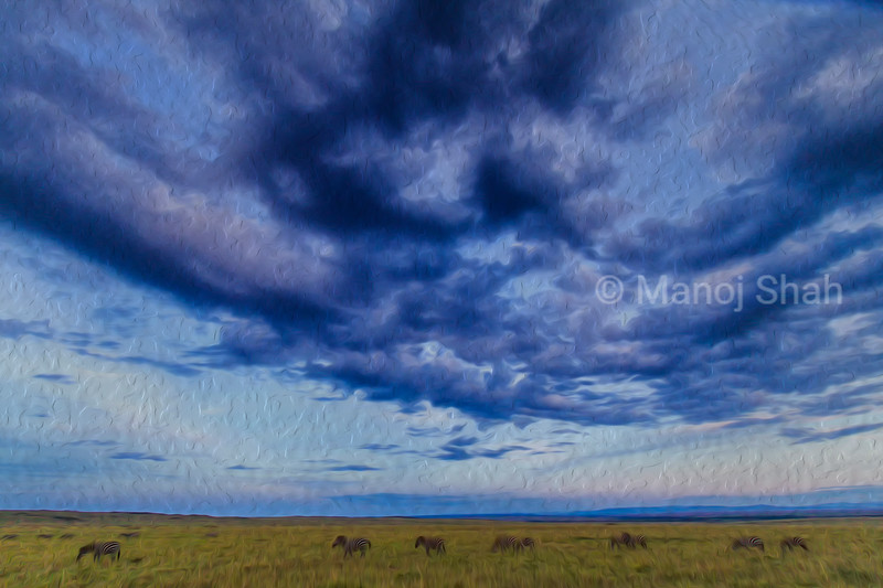 Zebras grazing under rain clouds in Masai Mara