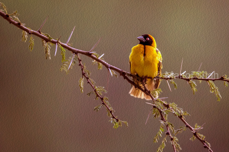 Male Black Headed weaver sitting on an acacia tree branch in Masai Mara.
