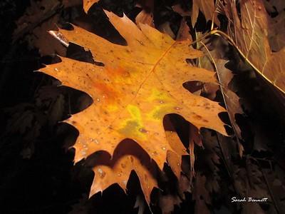sbennett_fall leaves