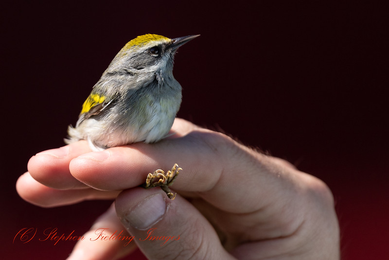Golden-winged Warbler on its way to Canada. This species has declined rapidly in southern parts of its breeding range in recent years. Northern populations faired better but overall moderately rapid declines have been recorded. Therefore, it qualifies as Near Threatened, but if declines continue to worsen in the north of its breeding range it may warrant uplisting to Vulnerable in the future.