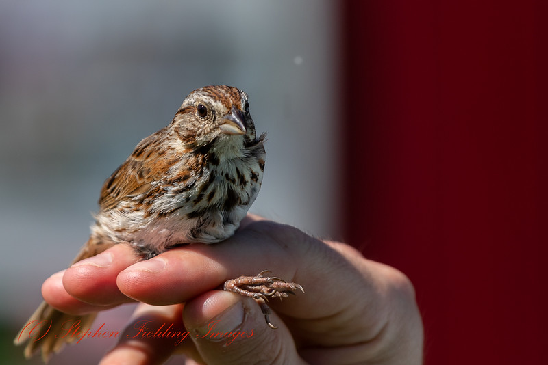 Song Sparrow, its population trend appears to be stable, and hence the species does not approach the thresholds for Vulnerable under the population trend criterion (>30% decline over ten years or three generations). The population size is extremely large, and hence does not approach the thresholds for Vulnerable under the population size criterion (<10,000 mature individuals with a continuing decline estimated to be >10% in ten years or three generations, or with a specified population structure).