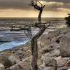 Ghost Tree, 17 Mile Drive, Pebble Breach, CA.