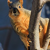 Sciurus niger - Eastern Fox Squirrel, a fat rat with fancy tail :-)