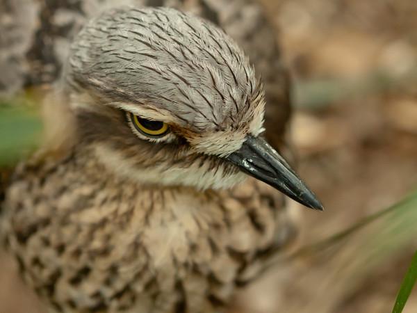 Burhinus grallarius - Bush Thick-knee, or at least Xeno thinks so :-)