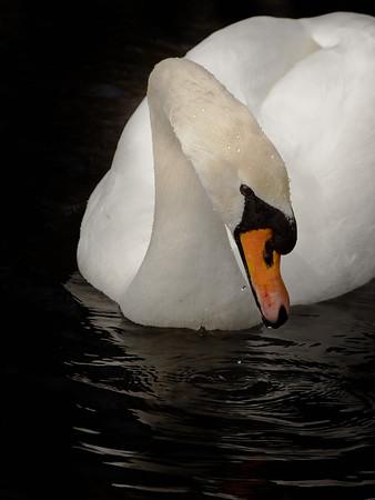 Cygnus olor - mute swan
