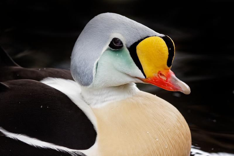 Somateria spectabili - King Eider (male), a sea duck...