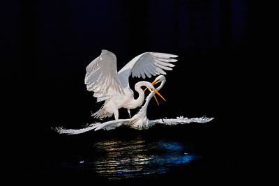 Great Egret Mating Dance, Moss Landing California