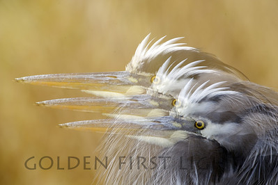 Great Blue Heron Multiple Exposure