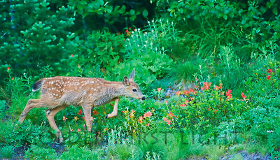 Fawn in Paintbrush, Mt Rainier National Park
